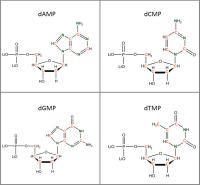 Set of 4 13C 15N-labelled  dNMPs lithium salt powder